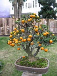 If I can learn the art of bonsai well enough to do this to all of the fruit trees I would like to grow in my small space, I would be overjoyed.