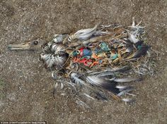 An Albatross poisoned by plastic pollution on Midway Atoll. PHOTO BY Chris Jordan Chris Jordan, Jordan 5, Environmental Pollution, Environmental Issues, Plastic Pollution Facts, Environmental Education, Our Planet, Our World, Nature