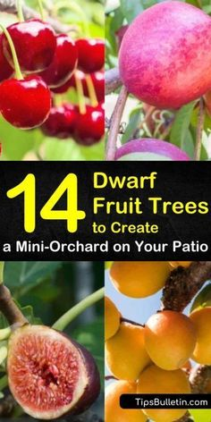 14 Dwarf Fruit Trees to Create a Mini-Orchard on Your Patio Discover container gardening! Figure out how to grow pears, peaches, apples and cherries indoors. Whether you have small spaces or big patio, find out which dwarf fruit trees are perfect for your Fruit Tree Garden, Dwarf Fruit Trees, Garden Trees, Patio Trees, Indoor Fruit Trees, Small Fruit Trees, Fruit Trees In Containers, Roses Garden, Potted Trees