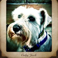 Holly Herd's male Miniature Schnauzer Coby.