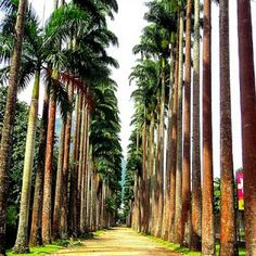 the dramatic imperial palm trees in the botanical garden (rio de janeiro) #travelcolorfully