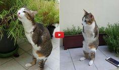 अपने 2 पैर गंवाने के बाद अब ये बिल्ली किसी डाएनासॉर की तरह चलती है  #CatVideo #AmazingVideo