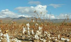 In the middle of the dry, Sonoran Desert of Arizona, the Wuertz family (and several others) have been farming cotton for generations. Growing Cotton, Its Time To Stop, Asset Management, Farming, Arizona, Deserts, Middle, United States, America