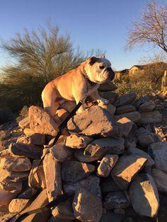 Bulldog hiking in Scottsdale.