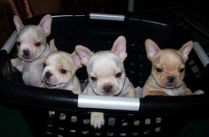 French Bulldog Puppies - AKC French Bulldogs For Sale to loving homes! - French Bulldog Breeders