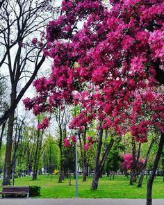 . . . . . . . . . . . . . . . . . . . . . . . . . .  #photography #ig_romania #nature #landscape #instadaily  #cluj #romania #vscocam #me  #clujnapoca #clujlife #cluj_life #clujnapoca_city #transylvania #romaniapitoreasca #artofvisuals #aov5k #photooftheday #spring #leaf #color #pink #flowers #park  #city #vsco #vscophile #tree #descoperaromania @fubiz #designcollector