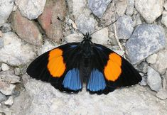 Tolima Numberwing (Callicore tolima). The upperside forewings of both sexes are black with a broad orange or orange-red swathe running diagonally. The hindwings are dark brown, with a metallic blue patch. Callicore tolima is distributed from Mexico to Ecuador.