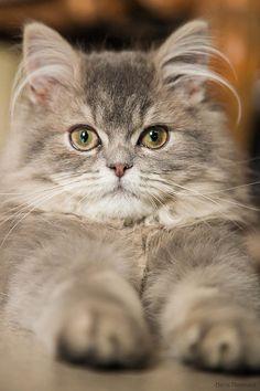 Cat imitating the Sphinx