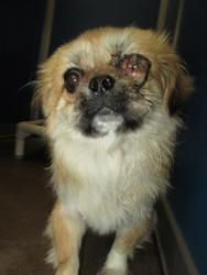 Cage 38 Feb 21 is an adoptable Pekingese Dog in Greenville, TX. This little man is an adult Pekingese mix. He has an injured left eye but is energetic, friendly and eager for attention....
