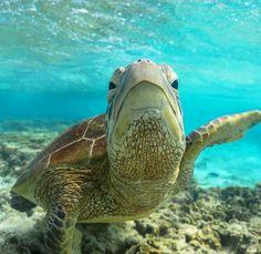 How Long do Tortoises Live? The Life of a Tortoise Turtle Reptile, Pet Turtle, Perth, Kawaii Turtle, Turtle Images, Turtle Time, Russian Tortoise, Reptiles And Amphibians, Tortoises