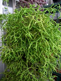 Rhipsalis Mistletoe Cactus: How To Grow Cactus Plants. Surprisingly, growing Rhipsalis requires shade to partial shade. While most cacti are found in hot, sunny, arid zones, mistletoe cactus is unique in its requirements for moisture and dim light. Cacti And Succulents, Planting Succulents, Cactus Plants, Garden Plants, Planting Flowers, House Plants, Succulent Planters, Cactus Types, Garden Shade
