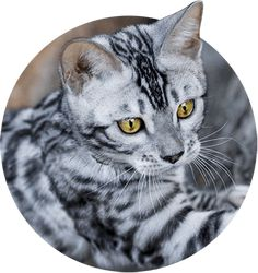 Discover every bengal cat coat patterns and colors before you adopt one. Wild & Sweet is THE reference when it comes to buying a bengal kitten. Marble Bengal Cat, Silver Bengal Cat, White Bengal Cat, Bengal Kittens For Sale, Kitten For Sale, Cats For Sale, Cats And Kittens, Bengal Cats, Chat Toyger