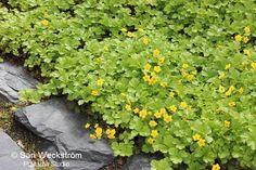 Rönsyansikka Parhaat talvivihreät perennat - Sarin puutarhat