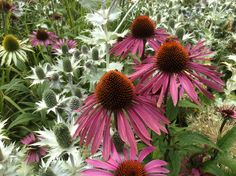 late summer at Wisley. Echinacea and Eryngium