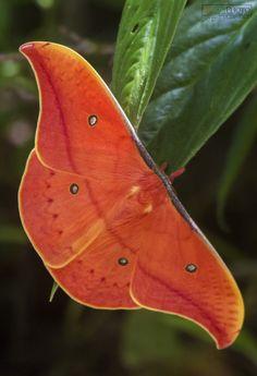 Copaxa syntheratoides by Johanna Murillo