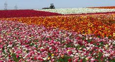 The Flower Fields 2011 9 | Flickr: partage de photos!
