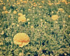 Spot of Sunshine  8x10 Photograph  Flower by MorganRosePhoto, $30.00