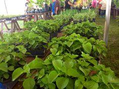 Farm fair- organic chiso