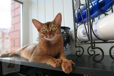 Serval, Abyssinian Kittens, Gatos Cat, Cat Nutrition, Exotic Cats, Cat Feeding, Domestic Cat, Types Of Food, Physical Activities