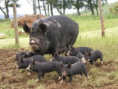 Here's a quick overview of the most common and heritage breeds in the U. as well as the more notable breeds from around the world. The Animals, Farm Animals, Berkshire Pigs, Pig Breeds, Rare Breeds, Pig Pen, Mini Pigs, Pig Farming, Animal Science