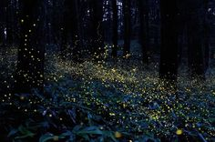 Fireflies in the forest, Japan