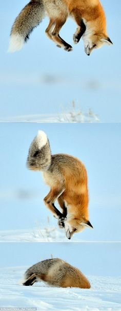 This is the incredible moment a fox is captured nose-diving into deep snow to catch a mouse. Wildlife photographer Richard Peters took this picture while travelling through Lamar Valley in Yellowstone National Park.