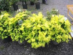 Dwarf Evergreen Flowering Shrubs | Esperanza Shrub