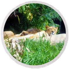 The Lion Awakes Round Beach Towel by Tracey Everington. The beach towel is in diameter and made from polyester fabric. Beach Towel, Art Designs, Fine Art America, Lion, Shops, Community, Wall Art, Towels, Artwork