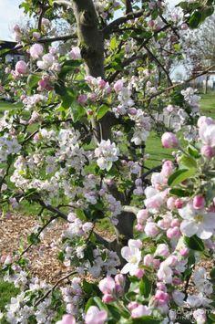 Wit roze appel bloesem