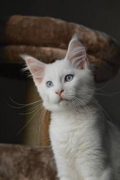 Maine Coon, blue eyed. DutchSweetloves Eros, white. Photo by #medieval88 #mainecoon #white #blue-eyed