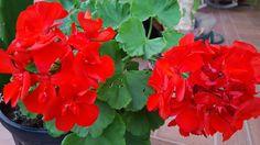 Otros geranios color rojo, j=v