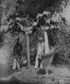 "Two titan arum in Sumatra, Indonesia (ca. one ""in leaf"" (called a Crown), which can reach up to 6 metres ft) tall, and one ""in bloom"". Special Flowers, Rare Flowers, Beautiful Flowers, Amorphophallus Titanum, Titan Arum, Corpse Flower, Bali, Amazing Nature, Southeast Asia"