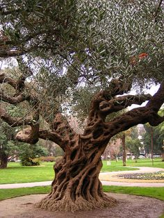 Olive Tree by laura.bell, via Flickr - Capital Park - Sacramento. Sadly the tree doesn't look like this anymore. :(