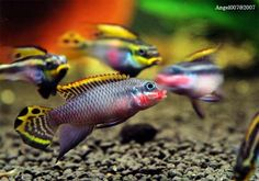 """Pelvicachromis taeniatus - ~4"""" west african cichlid. easy to breed, non aggressive. related to more common 'kribensis'"""