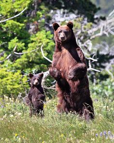 Mom and Cub on Alert, Glacier National Park, Montana, by Rob Kroenert, via Flickr