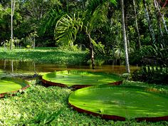 Giant Lilly Pads In The Amazon Rain Forest