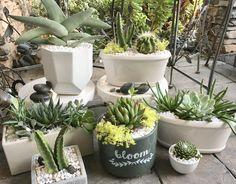 Summer succulents... Jade Succulent, Cactus Planta, Dish Garden, Trees To Plant, Container Gardening, Indoor Plants, House Plants, Garden Design, Planter Pots