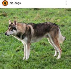 Northern Inuit Dog Utonagan Dog, Tamaskan Dog, Beautiful Wolves, Beautiful Dogs, Animals Beautiful, Big Dogs, Cute Dogs, Wolf Hybrid Dogs, Northern Inuit Dog