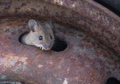 Större skogsmus - Yellow-necked Mouse (Apodemus flavicollis). Magnus Friberg - nature photographer.