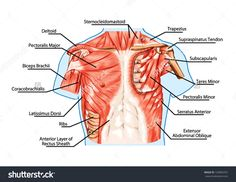 Chest Muscles Anatomy Pectoralis Major Muscle, Muscles Of Chest, Thorax, Brisket, Breast