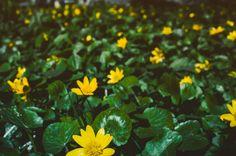 flowering bright yellow marsh marigold caltha palustris background