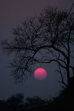 Kaingo sunset - The air was filled with dust after a windy day, resulting in a spectacular pink sun. Sth Luangwa NP, Zambia Sept 2007