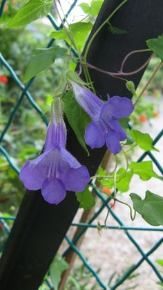 "what is it ?????   it's an ""Asarina scandens"" (origin : Mexico) - Asarine Grimpante"