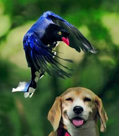 Taiwan Blue Magpie landing Over a Smiling Beagle