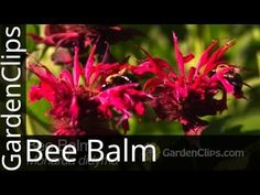 Learn How To care for the Bee Balm plant, perennial fragrant Monarda attracts bees, butterflies, hummingbirds grows easy, flowers full sun. Bee Balm Flower, Bee Balm Plant, High Country Gardens, American Meadows, Cottage Garden Plants, Outdoor Plants, Plant Care, Amazing Flowers, Perennials