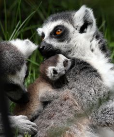 There Was A Baby Lemur Born In The Bristol Zoo You Need To Look At
