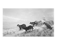 Lobos de Alaska, 1994
