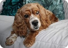 Lisbon, IA - Cocker Spaniel. Meet Molly, a dog for adoption. http://www.adoptapet.com/pet/12764871-lisbon-iowa-cocker-spaniel