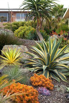 Succulent hillside - variegated furcraea ?(L) Agave desmetiana 'Variegata' (R), and Sedum nussbaumerianum  (Coppertone Stonecrop)