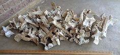 Lot of 55 Real Cow Vertebrae Bones, Atlas, Thoracic, Lumbar, Sacrum, Spine